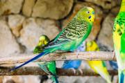 Znate li zašto su ptice odlični kućni ljubimci?